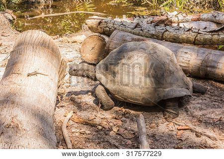Aldabra Giant Tortoise, Turtle On The Beach