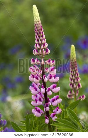 Pink Lupine Blooming In Meadow, Newfoundland Summer