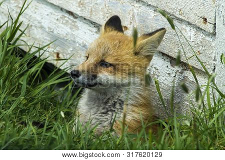 Young Kit Red Fox By Side Of Old Shed, Newfoundland