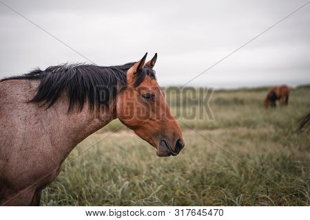 Red Hoarse With Black Mane In A Field
