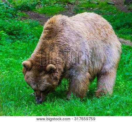 Light Brown Bear Grazing In A Pasture Of The Forest, Omnivorous Mammals