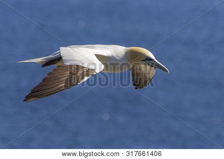 Northern Gannet In Flight Over Blue Waters Of Atlantic Ocean, Newfoundland