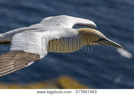 Northern Gannet In Flight Over Atlantic Ocean At Newfoundland