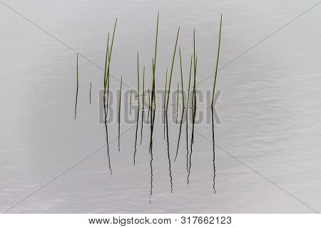 Tall Thin Reeds With Reflections In Newfoundland Lake