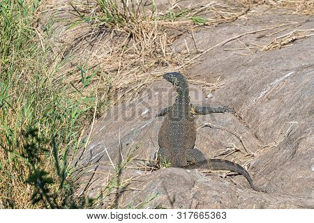A Water Monitor, Varanus Niloticus, On A Rocky Outcrop Next To Reeds