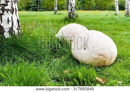 Giant Puffball Mushroom On The Grass In Park