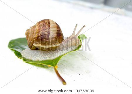 Garden snail on a leaf