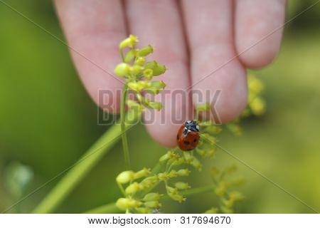 Ladybug On The Hand. Ladybug On Grass Background. Macro Red Ladybug. Ladybug Crawls On The Hand Of A