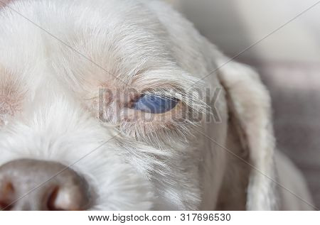 Close Up On The Eye Of An Old Dog With White Eye Disease, Blind Dog. Cataracts Or Uveitis Diseases.