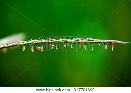 Macro Closeup Lush Big Bluestem Tall Grass With Lush Green Forest Background
