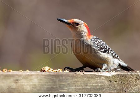 Red Bellied Woodpecker Birds Of The World Eating Peanuts