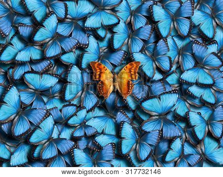 Background From Many Blue Butterflies (morpho Peleides) And One Orange Butterfly (charaxes Candiope)