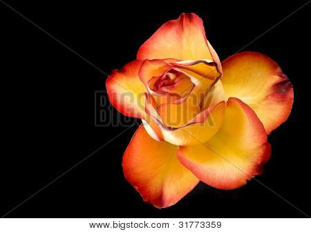 Fire-tipped: A yellow rose with red tips boldly contrasts a black background.
