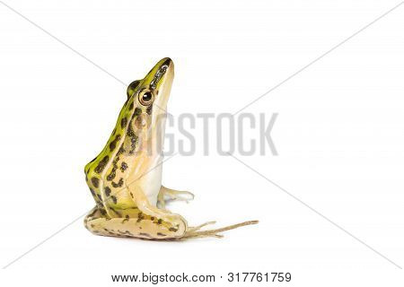 A Beautiful Common Green Water Frog. Isolated On White Background . Frogs Are Amphibians.