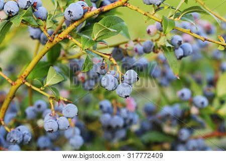Blueberries Ripening On The Bush. Shrub Of Blueberries. Growing Berries In The Garden. Close-up Of B