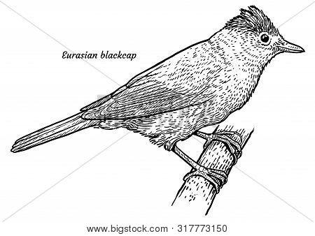 Eurasian Blackcap, Sylvia Atricapilla Illustration, Drawing, Engraving, Ink, Line Art, Vector