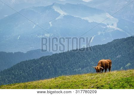 A Single Long Horned Cow Crazing Grass On The Side Of An Alpine Mountain In Italy