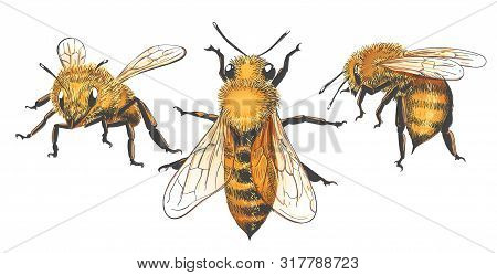 Honeybee Vintage Illustrations. Colored Honey Vector Sketch, Color Retro Apis Insect Graphic Collect