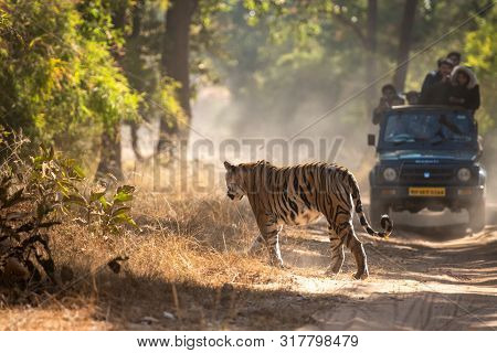 A Female Bengal Tiger Marking His Territory.image Taken During A Safari At Bandhavgarh National Park