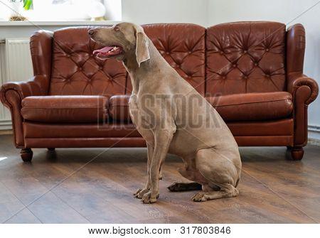Beautiful weimaraner dog at home poster