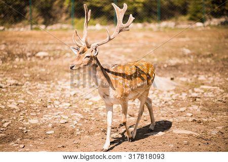 Cute Spotted Fallow Deer Is Ruminant Mammal Belonging To The Family Cervidae. Fallow Deer In Summer