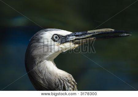 Head Of A White-Faced Heron