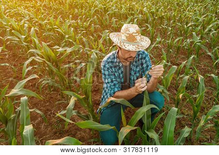Farmer Examining Sorghum Plants In Field. Handsome Adult Agronomist Is Inspecting Development Of Cro