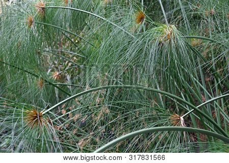 Papyrus (cyperus Papyrus). Called Papyrus Sedge, Paper Reed, Indian Matting Plant And Nile Grass Als
