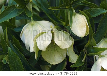 Lenten Rose Flowers