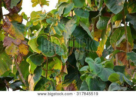 Teak Leaves - Texture Details Of Fresh Green Teak Leaves In The Forest