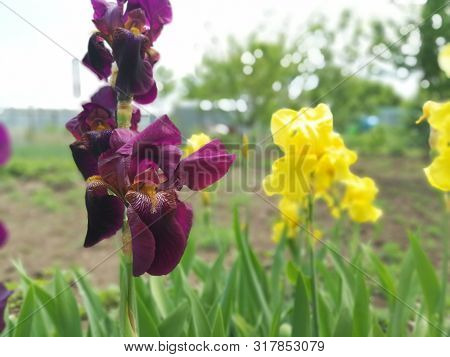 Yellow And Purple Irises, Green Flowerbed, Summer Sunny Day