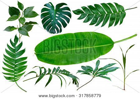 Collection Green Tropical Leaves, Palm Tree Branches, Banana Leaf And Exotic Rainforest Leaves. Bota