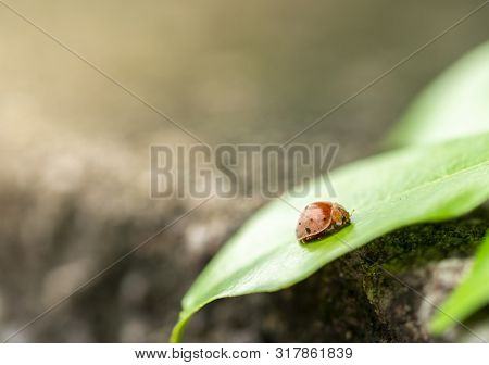 Calm Scene, A Beetle Or Mexican Bean Beetle On Leaf With Blurred Background.