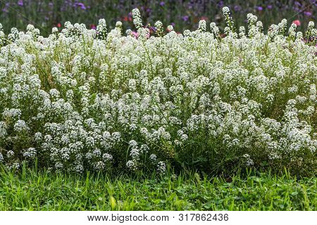 White Lobularia Maritima Or Alyssum Flowers With Green Leaves Are In A Park In Summer