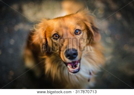 Close Up Portrait Of Young Reddish Brown And White Mongrel Dog Looking Up Sitting On Grey Pavement O