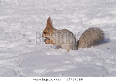 Red squirrel on a snow