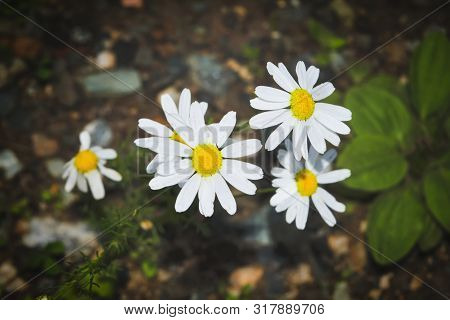 Chamomile Flowers. Camomile, Daisy Wheel, Daisy Chain, Chamomel. An Aromatic European Plant, With Wh