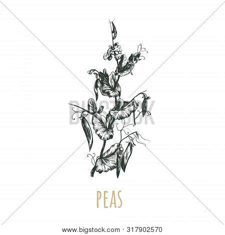 Peas Plant Vector Illustration. Peas Sketch Hand Drawing. Pea Botanical Illustration