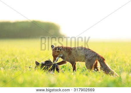 Red Fox Vixen Eat Prey  On Meadow In The Morning - Vulpes Vulpes