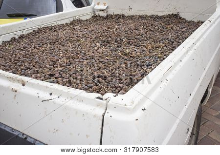 Pick-up Vehicle Plenty Of Seized Olives Fruits. Olive Thieves In Southern Spain Are Frequent During