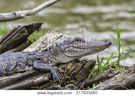 Spring Alligator Resting On A Log Near The Swamp In Louisiana