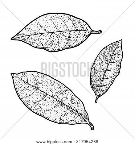 Bay Leaf Illustration, Drawing, Engraving, Ink, Line Art, Vector