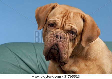 French Mastiff close up portrait