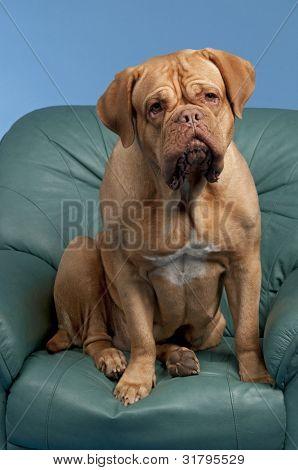 Dogue De Bordeaux sitting on arm chair, studio shot