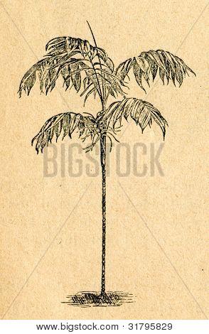 Chamaedorea palm - gammal illustration av okänd konstnär från Botanika Szkolna na Klasy Nizsze, författare