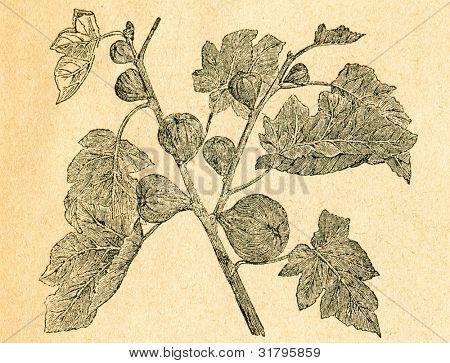 Twig fikon - gammal illustration av okänd konstnär från Botanika Szkolna na Klasy Nizsze, författare Jozef