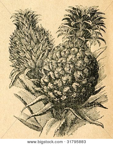 Ananas - blomma och frukt - gammal illustration av okänd konstnär från Botanika Szkolna na Klasy Niz