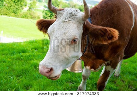 Red Friesian Cow In Green Pastures Of Switzerland