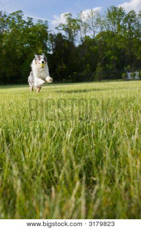 Blue Merle Tri-Color Australian Shepherd Leaps
