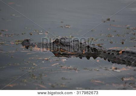 Alligator Moving Through The Water In Barataria Preserve In Louisiana.